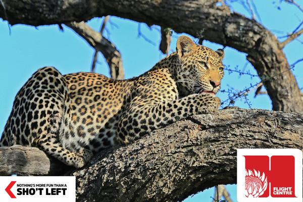 A leopard rests in a tree, which can be viewed in a nature reserve in Mpumalanga with a Homegrown holiday package from Flight Centre.