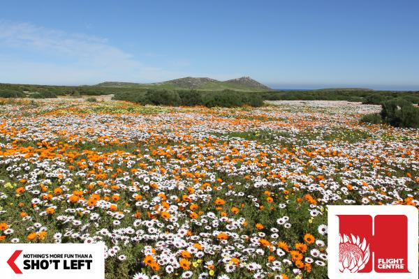 Vivid Namaqualand daisies cover the landscape in the Northern Cape that can be included in a Homegrown holiday package from Flight Centre.